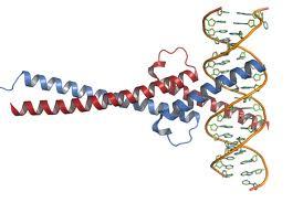 Eliminan tumores pulmonares en animales inhibiendo la proteína MYC