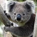 Koalas, una especie en peligro de extinción