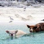 La única piara de cerdos nadadores del mundo se encuentra en las Bahamas