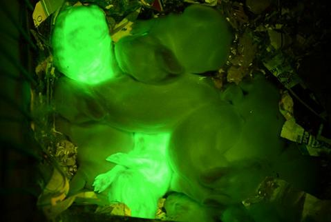 Científicos consiguen clonar conejos fluorescentes