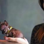 La perra más pequeña del mundo