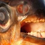 Descubren un pez muerde testículos en el río Sena