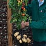 TomTato: la planta tomatera y patatera 2 en 1