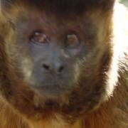 Las monas capuchinas tiran piedras a sus enamorados